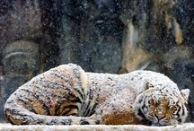 TIGERS,TIGERS,and POLAR BEARS / tigers and polar bears for a very special guy! / by patricia kovach