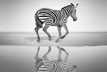 crazy about zebras