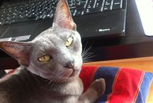 Cats (mačičky) Corats