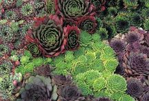 Sempervivum Plants