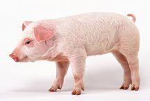Tapety - zwierzęta - świnki