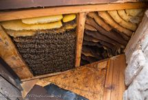 Honeybees / My favorite pastime, working with my bees!