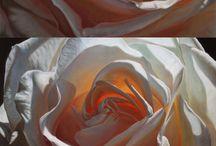 Rosas kelly