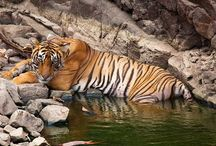Animal Sanctuaries in Rajasthan / Sanctuariesindia: Here you can get information about all Animal Sanctuaries, National Parks, Forests in Rajasthan, India.