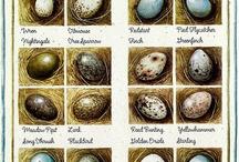 voel eiers