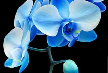 Orchids / All Blue