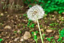 Dandelions Blowing In The Wind / Dandelions Blowing In The Wind