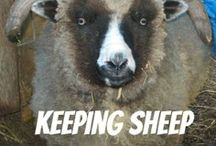 Learning to keep sheep / by Lisa Key