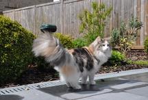 ♡ Norwegian Forest Cat Calico ♡