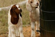 Goats, goats & more goats / Boer Goats, baby Boer goats & farming