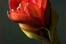 Flower: Amaryllis
