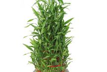 Green Gifts - Gifts by meeta / Buy Plants Online @ Affordable Prices from India's popular gifts portal GiftsbyMeeta.