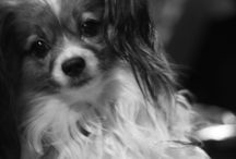 My Lucas / Pictures of my papillon