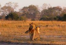 Lions: Styx Pride