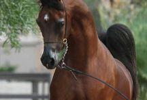 Horse Arabian