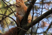 Squirrel  / photogenic squirrel in the woods