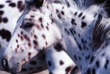L'Appaloosa / Les origines du cheval Appaloosa se retrouvent exclusivement dans l'élevage des indiens Nez Perce. Aux environs de 1500, les premiers Espagnols s'établirent au Mexique pour y élever des moutons et des chevaux. Des Indiens travaillaient chez ces colonisateurs. Ils volèrent des chevaux aux Espagnols petit à petit et apprirent à s'en servir.