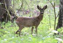 Roe deer /Metsäkauris / This animal is quite usual in South-Finlands landscape. In countryside You can see them jumping and running in the bright summer evenings.