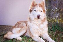 Husky, Malamute, Samoyed, Akita / huskies