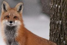 Beautiful Foxes.