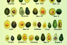 ABACATE - Persea americana - Aguacate o Palta - Avocado - Avocat / Reino:Plantae; Divisão:Magnoliophyta; Classe:Magnoliopsida; Ordem:Laurales; Família:Lauraceae; Género: Persea; Espécie:P. americana;