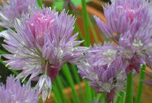 Plantes aromatiques et épices / Les plantes aromatiques ont souvent des vertus médicinales (voir le tableau correspondant) : leur parfum est plus fort que leur saveur à la différence des épices. les épices proviennent elles aussi de plantes mais souvent de plantes exotiques.