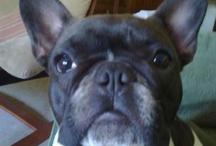 Mi mascota favorita / Esta es mi bull dog francés, se llama LOLA, tiene cerca del año, nació el 1 de junio, es geminis, y es increiblemente cariñosa, juguetona y la más fiel amiga, os aconsejo un/a Perrito/a de esta raza son adorables