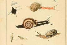Molluscs illustrations