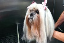 My Rescue Lhasa Apso, Holly / It's all about the hair! And the heart!