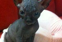 mačka sphynx