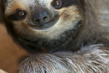 Sloths!  / Sloths are the most ridiculously adorable little things in the world!