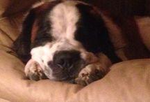 My Saint Bernard / The love of a big slobbery baby!!