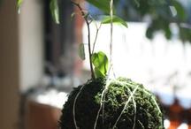 Kokedama / Hanging moss ball plants