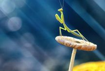 Mantids / by Cynthia Hensley-Laclair