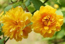 Красивоцветущие кустарники / Дача, сад, огород, цветы. Gardening, garden plant