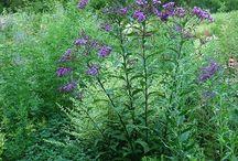 Oudolf - Medium length season plants