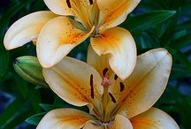 beauty of lilies