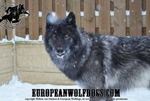 europeanwolfdogs.com / Pictures of our high content wolfdogs