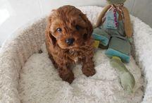 Our Next Puppy