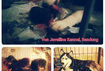 Jual Anjing Siberian Husky, Bandung