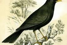 Blackbirds, Jackdaws, Corvidae / by Susan Brand Studio