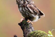 Owl / Ugglor