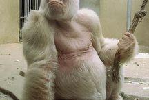 Albinos, Mutationen, Mischlinge
