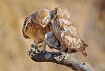 Búhos & Lechuzas / Rapaces, carnívoros y nocturnos de silencioso vuelo y enigmático canto. Cada mochuelo a su olivo y...si por la noche la lechuza canta, prevé la manta!