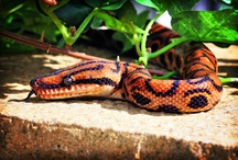 Snakes / Some of our favourite snake links!  Get more information on snakes here; http://www.reptilecentre.com/files_snakes