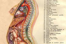 Corpus anatomicus