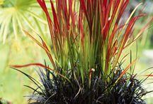 Herbe noir et rouge