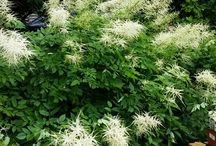 White Perennials for Shade / Discover new perennials by color and light requirements to make creating your garden simpler.