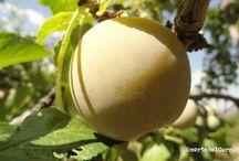 Ciruelas Claudias / La  ciruela claudia es el fruto de ciruelos de origen europeo, perfectamente adaptados al clima continental, de carne firme y sabor almibarado