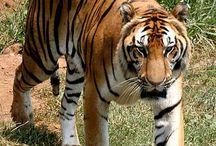 Tigri - Tigers